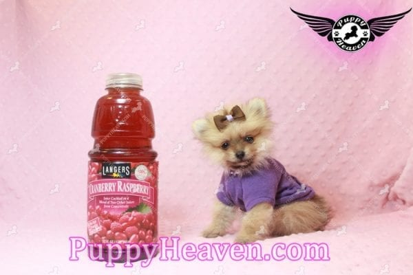 Holly Madison - Tiny Teacup Pomeranian Puppy has found a good loving home!-10703