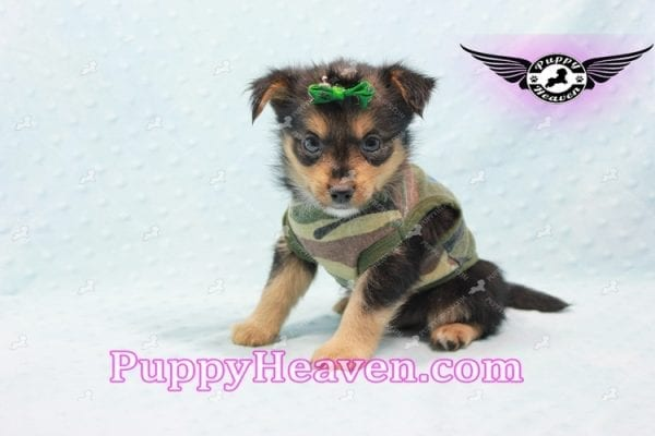 Hollywood - Teacup Porkie Puppy -10588