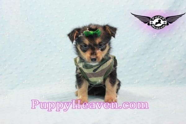 Hollywood - Teacup Porkie Puppy -10589