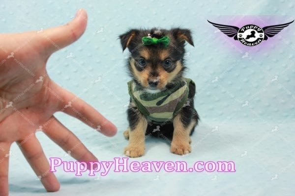 Hollywood - Teacup Porkie Puppy -10585