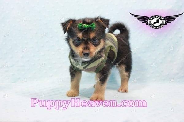 Hollywood - Teacup Porkie Puppy -10581