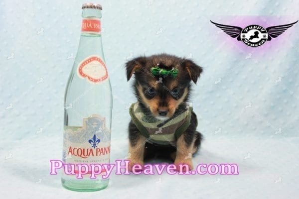 Hollywood - Teacup Porkie Puppy -0