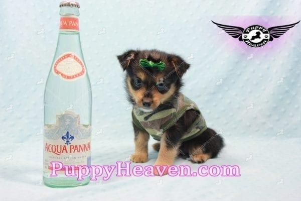 Hollywood - Teacup Porkie Puppy -10584