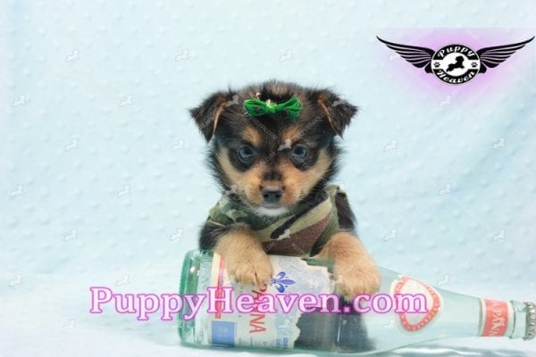 Hollywood - Teacup Porkie Puppy -10580