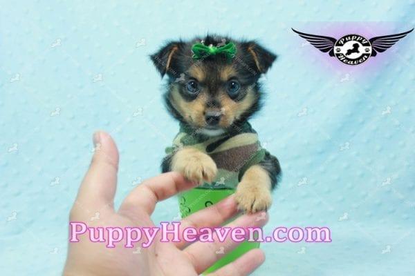 Hollywood - Teacup Porkie Puppy -10583
