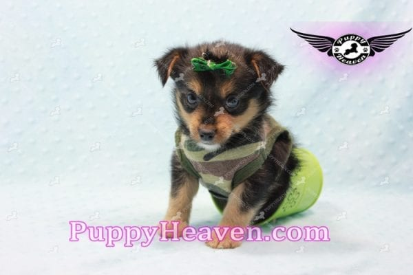 Hollywood - Teacup Porkie Puppy -10586