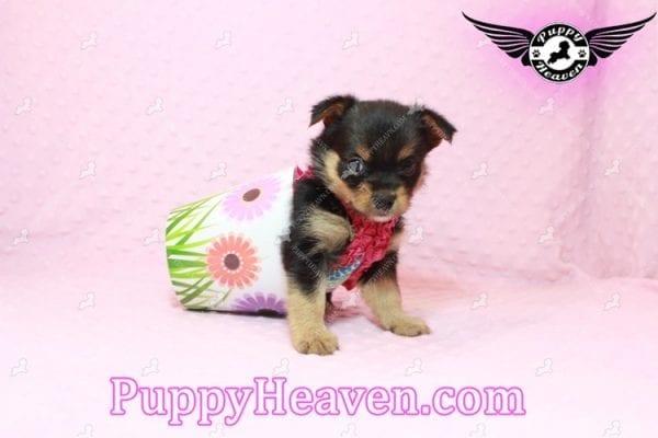 Katy Perry- Teacup Porkie Has Found A Loving Home With Jasmine in Gardena, CA 90247!-10506