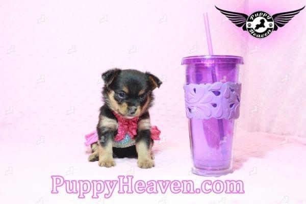 Katy Perry- Teacup Porkie Has Found A Loving Home With Jasmine in Gardena, CA 90247!-10507