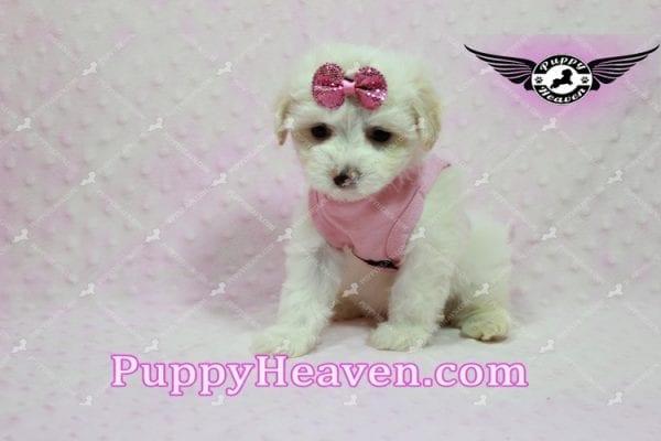Kit Kat - Teacup Malshi Puppy -10441