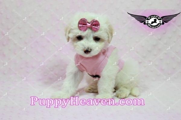 Kit Kat - Teacup Malshi Puppy -10442