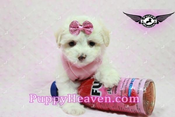 Kit Kat - Teacup Malshi Puppy -10439
