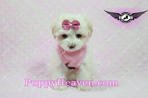 Kit Kat - Teacup Malshi Puppy -10440