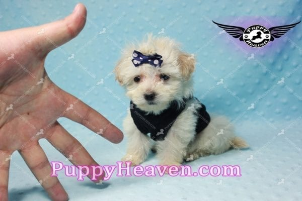 London - Teacup Malshi Puppy This Beautiful puppy has found a good loving home with Betty from Bernalillo, NM 87004-10179