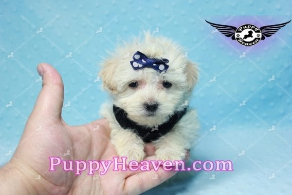 London - Teacup Malshi Puppy This Beautiful puppy has found a good loving home with Betty from Bernalillo, NM 87004-10183