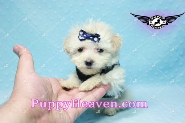 London - Teacup Malshi Puppy This Beautiful puppy has found a good loving home with Betty from Bernalillo, NM 87004-0