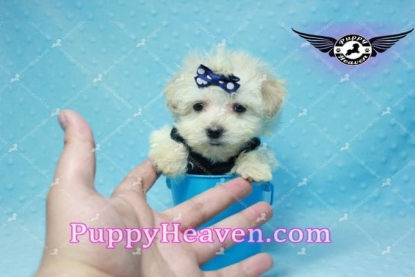 London - Teacup Malshi Puppy This Beautiful puppy has found a good loving home with Betty from Bernalillo, NM 87004-10184