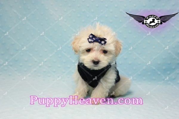 London - Teacup Malshi Puppy This Beautiful puppy has found a good loving home with Betty from Bernalillo, NM 87004-10181
