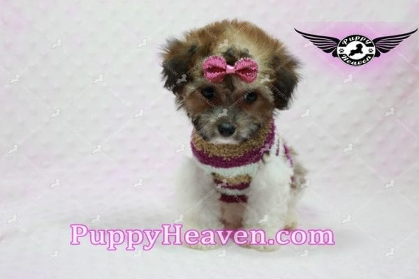 Madonna - Teacup Maltipoo Puppy-10758