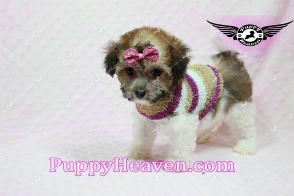 Madonna - Teacup Maltipoo Puppy-10752