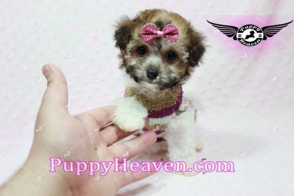 Madonna - Teacup Maltipoo Puppy-10754