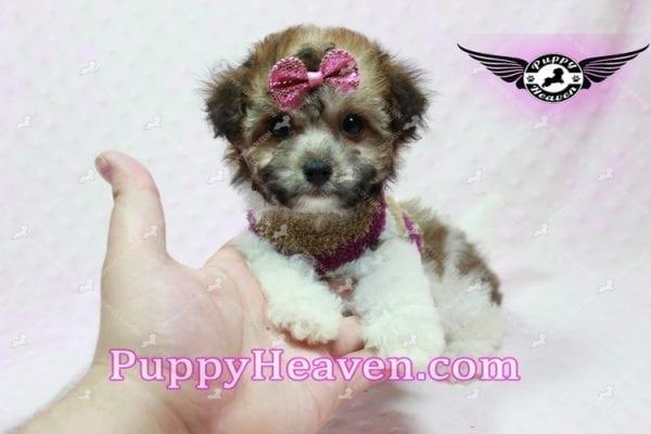 Madonna - Teacup Maltipoo Puppy-10757