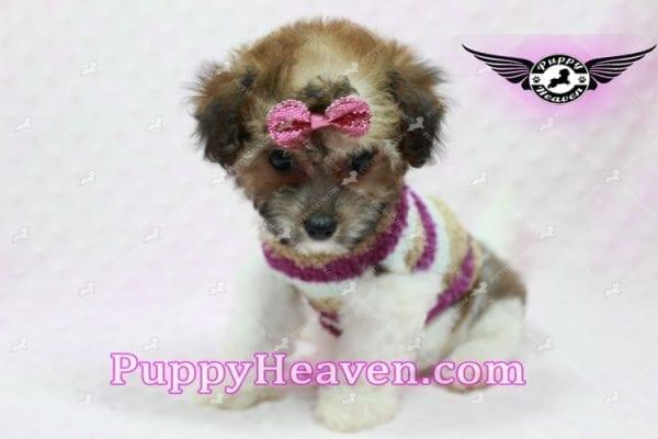 Madonna - Teacup Maltipoo Puppy-10760