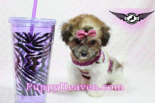 Madonna - Teacup Maltipoo Puppy-0
