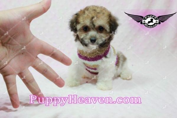 Madonna - Teacup Maltipoo Puppy-10755