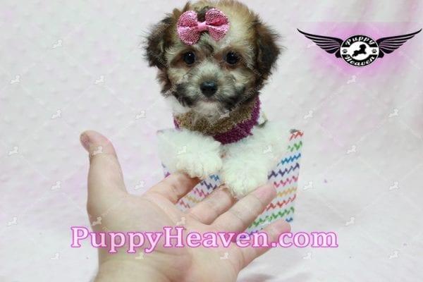 Madonna - Teacup Maltipoo Puppy-10756