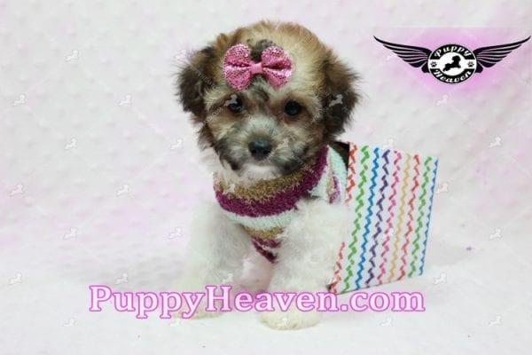 Madonna - Teacup Maltipoo Puppy-10762
