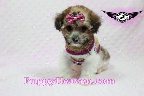 Madonna - Teacup Maltipoo Puppy-10759