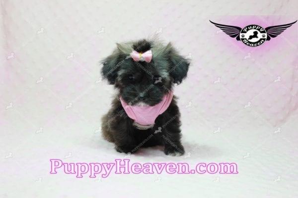 Manhattan - Teacup Shorkie Puppy -10249