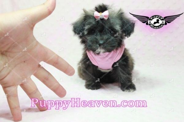 Manhattan - Teacup Shorkie Puppy -10252