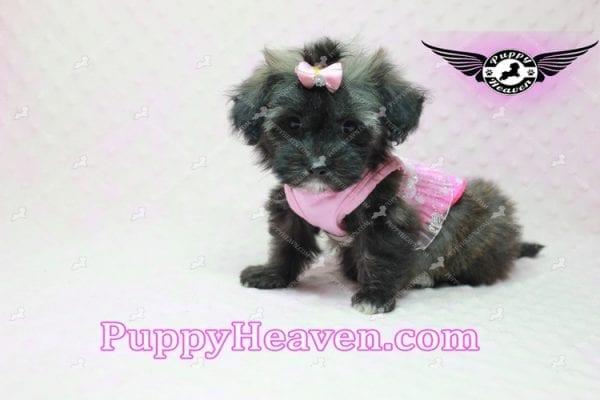 Manhattan - Teacup Shorkie Puppy -10255
