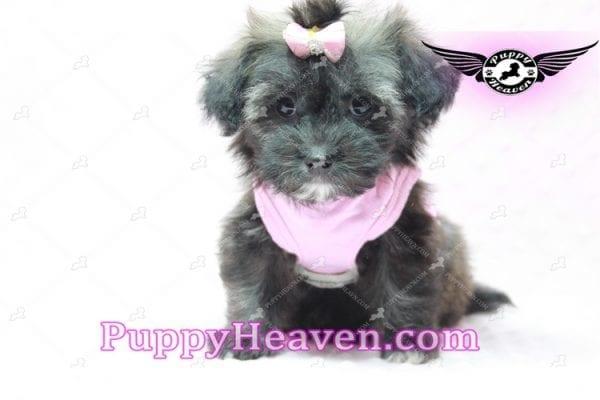 Manhattan - Teacup Shorkie Puppy -10254