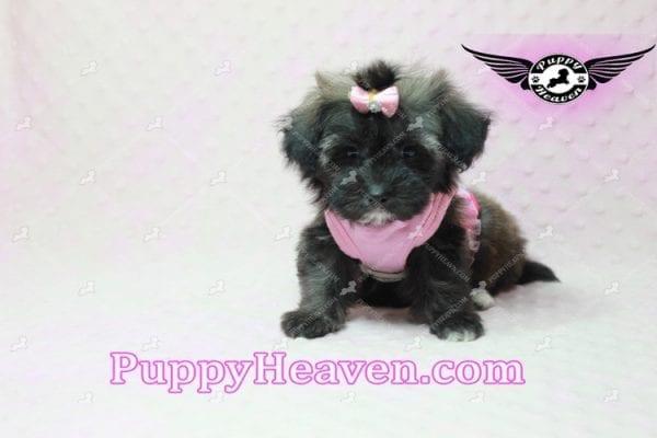 Manhattan - Teacup Shorkie Puppy -10253