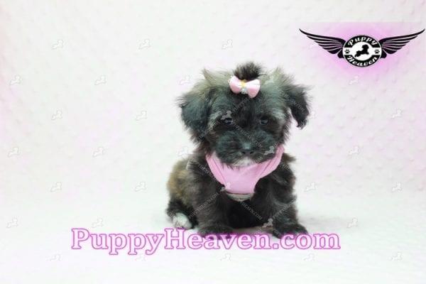 Manhattan - Teacup Shorkie Puppy -10250