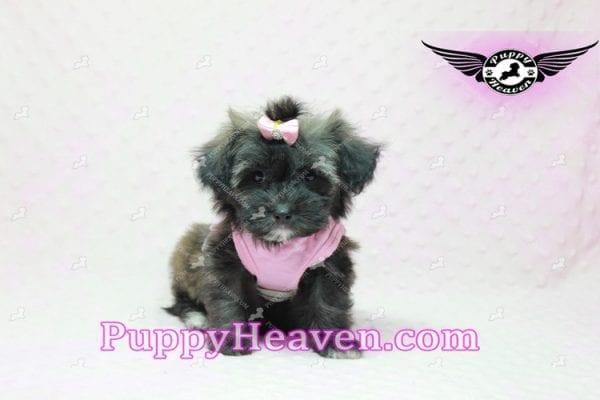 Manhattan - Teacup Shorkie Puppy -10248