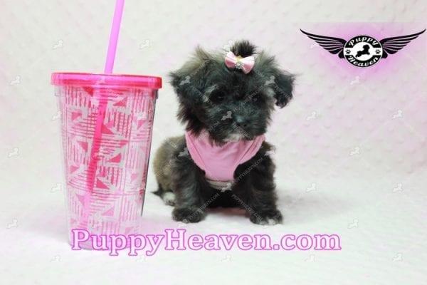 Manhattan - Teacup Shorkie Puppy -0