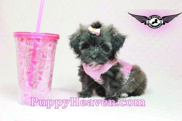 Manhattan - Teacup Shorkie Puppy -10247