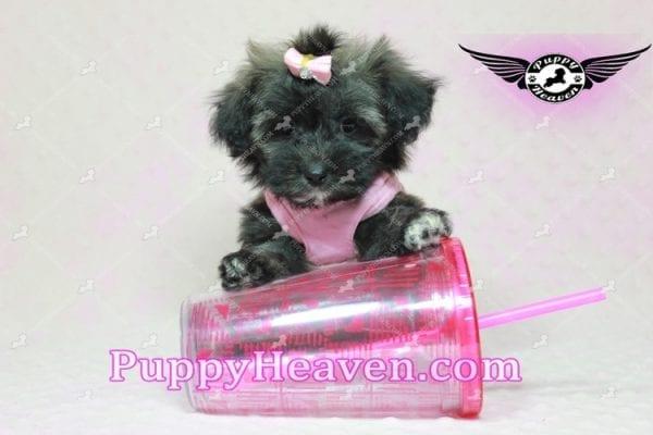 Manhattan - Teacup Shorkie Puppy -10245