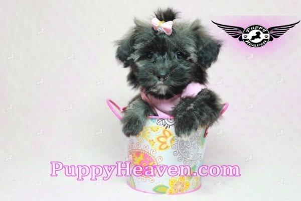 Manhattan - Teacup Shorkie Puppy -10251