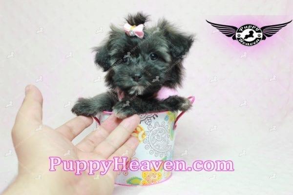 Manhattan - Teacup Shorkie Puppy -10246