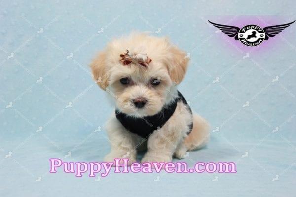 Mr. Handsome - Maltipoo Puppy -10619