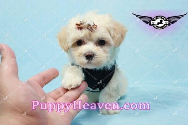Mr. Handsome - Maltipoo Puppy -10626