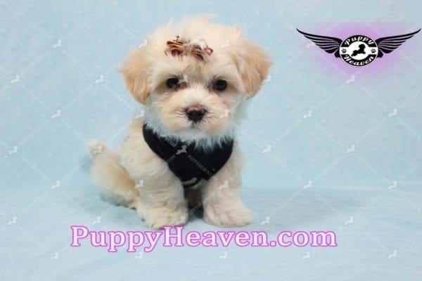 Mr. Handsome - Maltipoo Puppy -10622