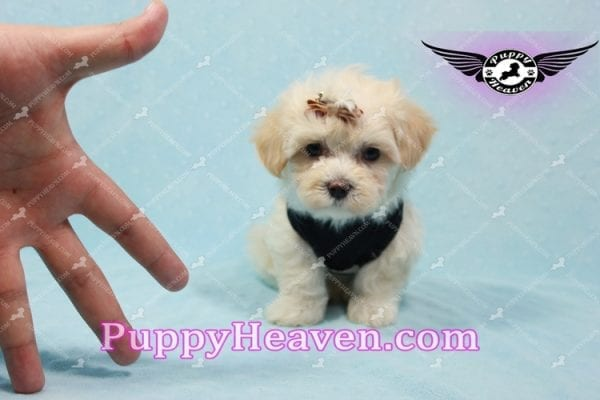 Mr. Handsome - Maltipoo Puppy -10617