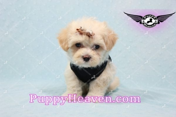 Mr. Handsome - Maltipoo Puppy -10620