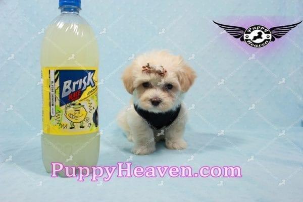 Mr. Handsome - Maltipoo Puppy -0
