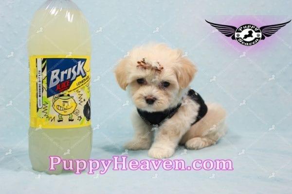 Mr. Handsome - Maltipoo Puppy -10625